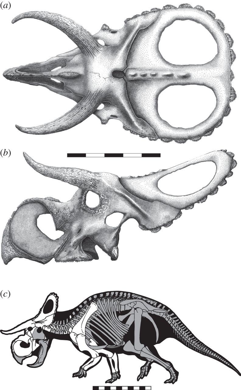 http://dinosaurs.afly.ru/ii/c/nasutoceratops-skelet.jpg