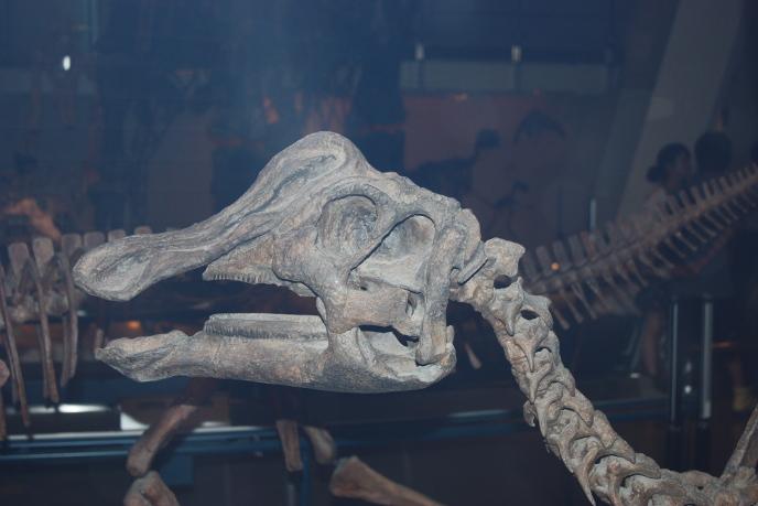 Череп ниппонозавра