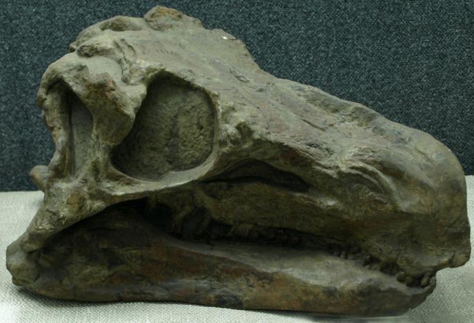 Череп хуаянозавра