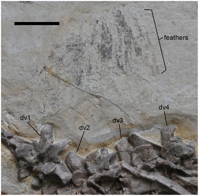 Перья цзяньчанозавра