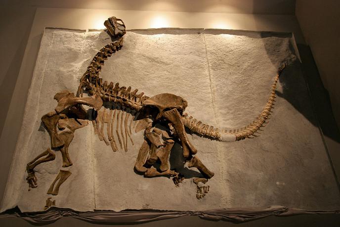 Скелет камаразавра